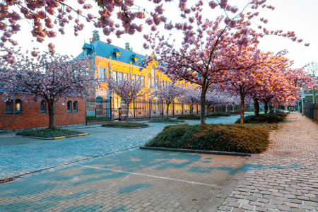 In this cobbled street there are rows of Japanese cherry trees between the parking spaces