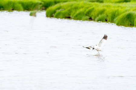 Avocet takes off from its favorite pool on a cloudy day in May 스톡 콘텐츠