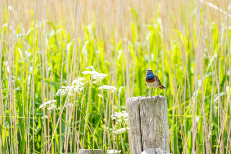 This beautiful bluethroat sits on a pole next to the reed looking for danger