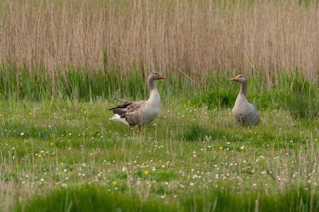 In the nature reserve in the grass are two Greylag geese on a cloudy day