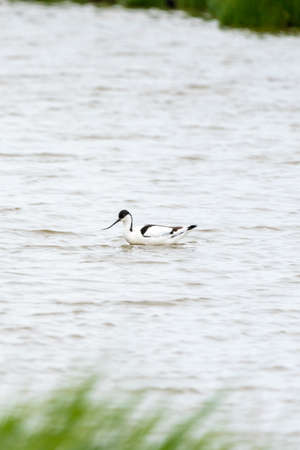Avocet rises from its favorite pool on a cloudy day in May