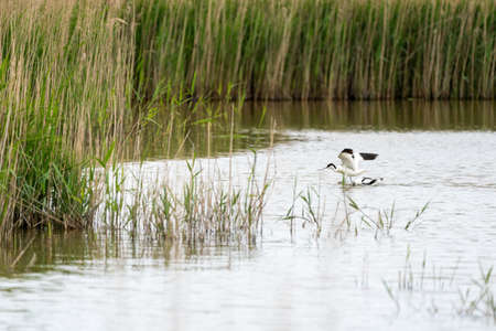 Avocet defends its pool against another avocet and pushes the opponent's head into the water 스톡 콘텐츠