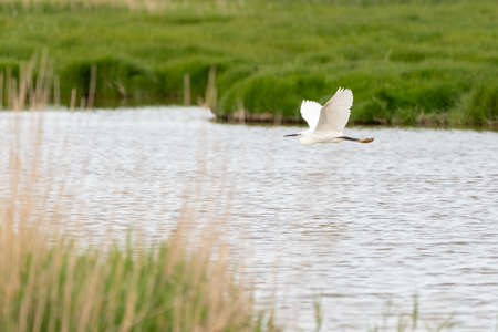 This beautiful white Egret flies over the pool on a cloudy day in May