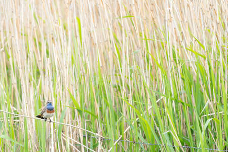 This beautiful bluethroat sits on a reed stick next to the reed looking for danger