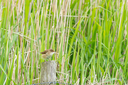 on a pole there is a small reed warbler next to the reed field