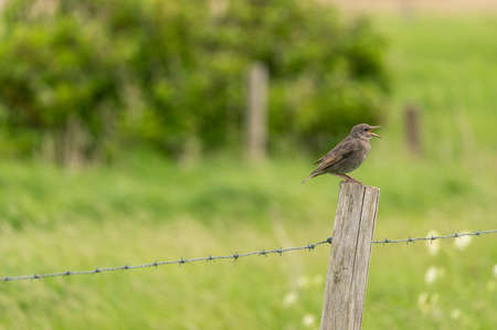 In the meadow on a fence post there is a Barred warbler 스톡 콘텐츠
