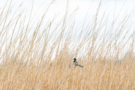 This beautiful reed bunting sits on a reed stalk among the already on a cloudy day in May