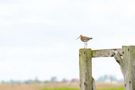 There is a black-tailed godwit in the meadow on a fence post 스톡 콘텐츠