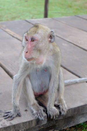 biped: monkey in Cambodia