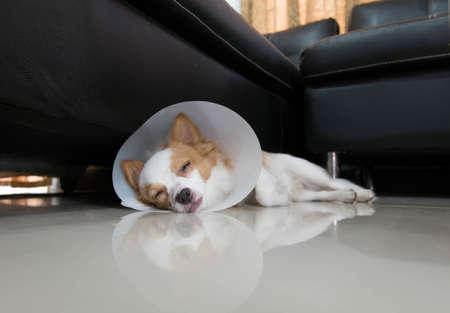 collar: Sick dog with collar Stock Photo