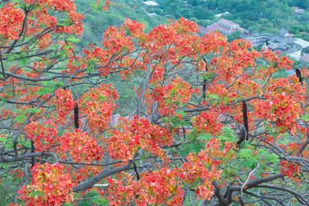 flamboyant: Flamboyant tree with red bloom in Mandalay Myanmar