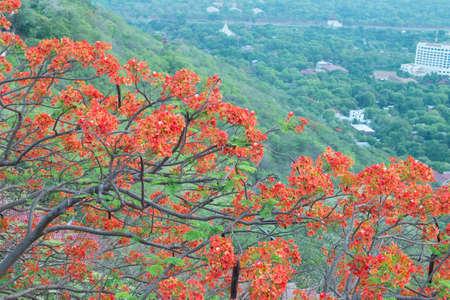 flamboyant: Flamboyant boom met rode blos in Mandalay Myanmar