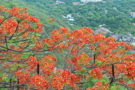 flamboyant: Flamboyant tree with red bloom in Mandalay Myanmar
