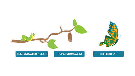 Illustration showing the Butterfly life cycle metamorphosis. Vector Isolated on white background.