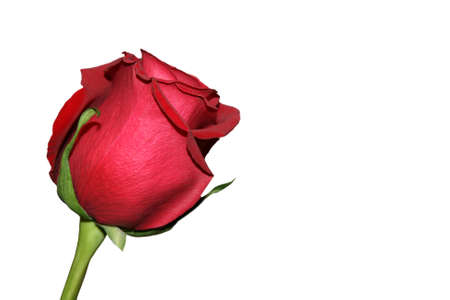 Single isolated red rose