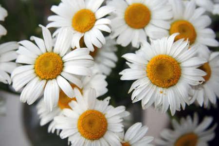 Beautiful bouquet of fresh chamomiles Stock Photo - 3062033