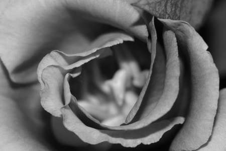 Rose in black and white. macro Stock Photo