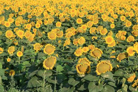 Big field full of sunflowers