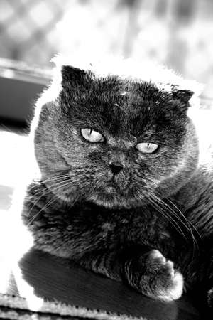 Scottish fold cat staring at the camera photo