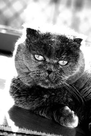 Scottish fold cat staring at the camera