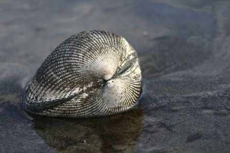 puget: Clam in Puget Sound
