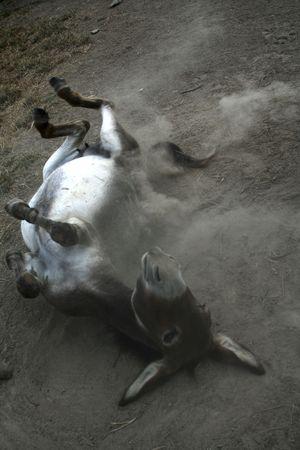 Donkey rolling in the dust
