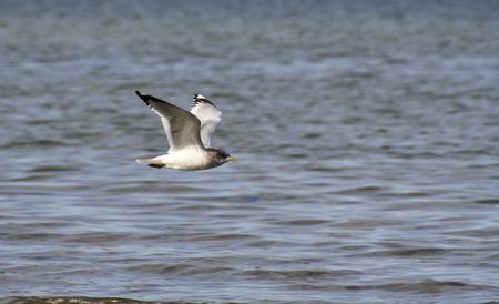 Seagull flying over Puget Sound photo