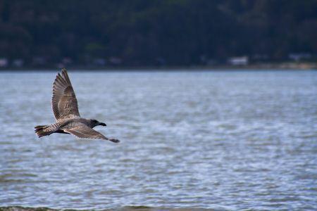 puget: Brown seagull flying over puget sound