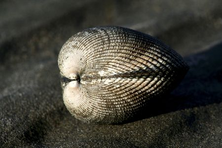 puget: Clam in Puget Sound