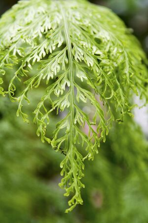 A beautiful green plant called mother spleenwort