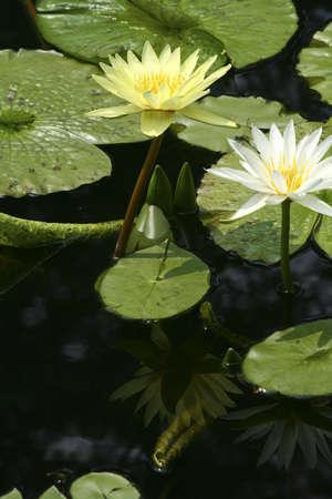 2 つの水は池のリリーズ