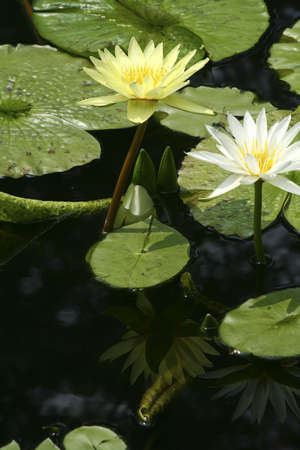 waterlilly: two water lillies in a pond