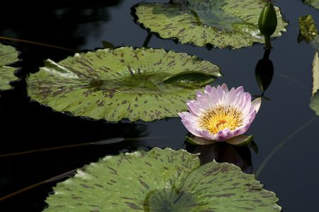 waterlillies: water lily in a pond