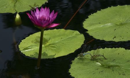 waterlillies: vibrant water lily