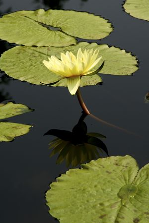 waterlilly: yellow water lily on a pond Stock Photo