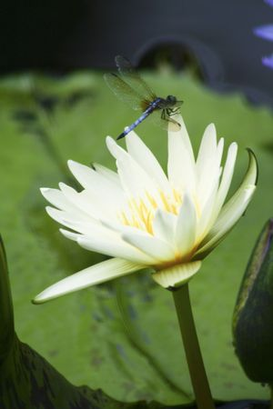 waterlilly: water lily and dragon fly Stock Photo