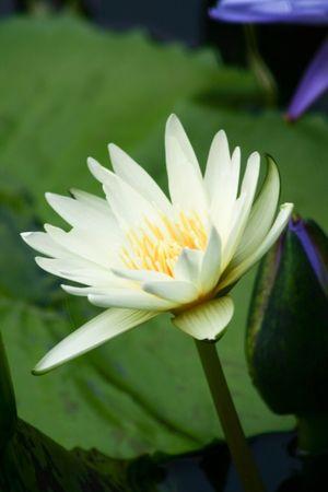 waterlillies: white water lily