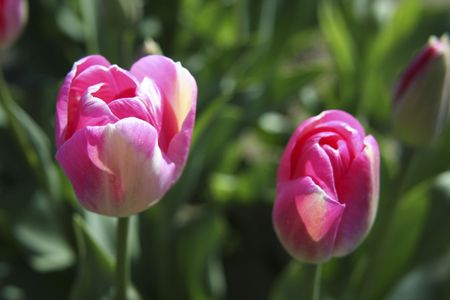 skagit: Two pink tulips blooming in a field