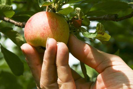 熟したりんごを選ぶ労働者 写真素材
