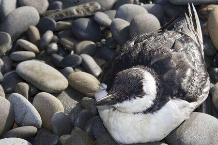 seabird: Black and white seabird resting on a rocky beach