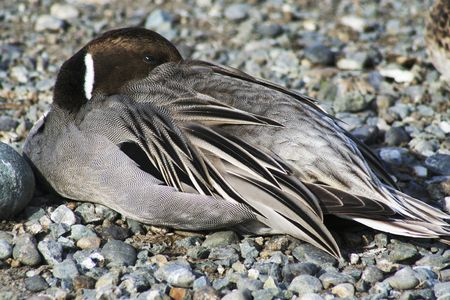 resting duck photo