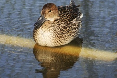 brown duck on a pond photo