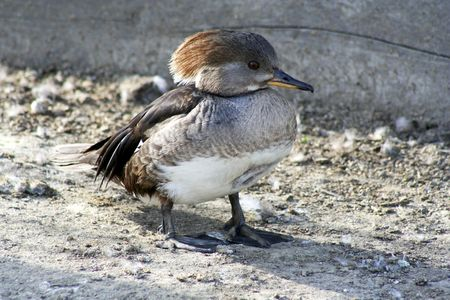 brown and white duck photo