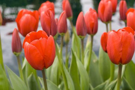 skagit: Red tulips on a farm in Skagit County, Washington Stock Photo