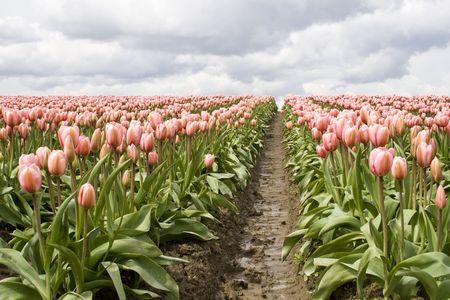 Pink tulips in a field in Skagit County, Washington photo