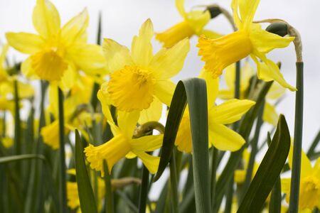 Yellow daffodils in a field in Washington photo