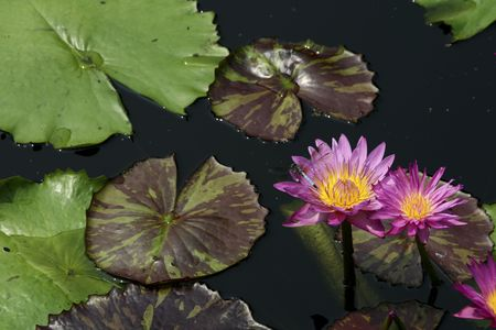 waterlillies: two water lillies in a pond