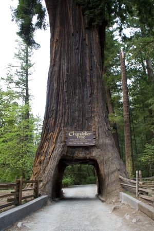 A giant sequoia tree with a hole in the base large enough for a car to drive through