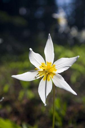 avalanche: A single white Avalanche Lily blooming on Hurricane Ridge