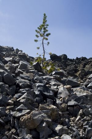 very hardy, tenacious plants growing out of an old lava flow Stock Photo
